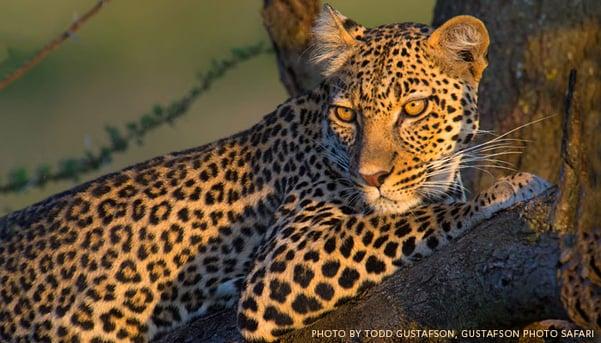 Leopard-in-Tanzania-by-Todd-Gustafson-Gustafson-Photo-Safari.jpg