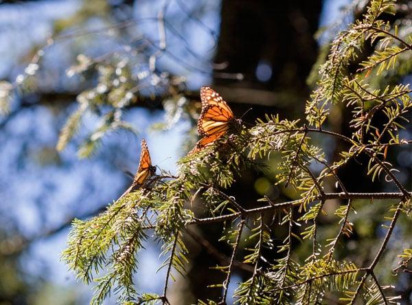 Monarch-butterfly-by-Stefanie-Plein