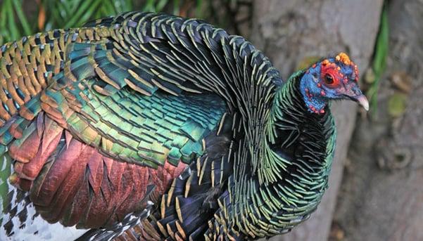 Ocellated Turkey by Dick Daniels