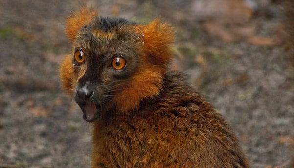 Red-ruffed-lemur-by-Pelin-Karaca-blog-inline.jpg