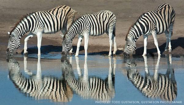 Zebras-in-Namibia-by-Todd-Gustafson-Gustafson-Photo-Safari.jpg