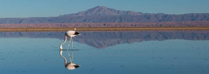 Flamingo-in-Atacama-Chile-CC-License.jpg