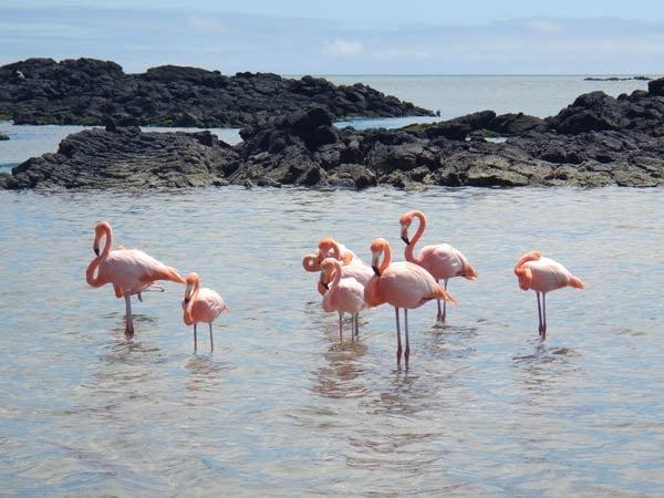 Flamingos-Laurie-McLaughlin