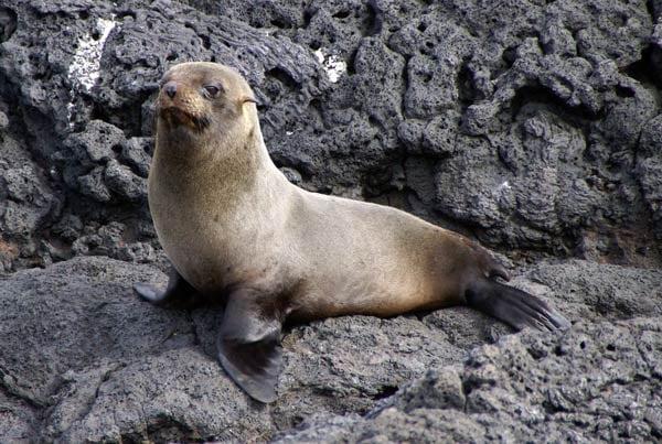Galapagos-Fur-Seal-Mark-Putney