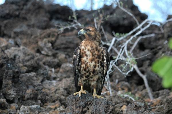 Galapagos-Hawk-Hjalmar-Gislason