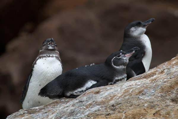 Galapagos-Penguins-Brian-Gratwicke