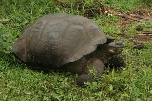 Galapagos-Tortoise-Pelin-Karaca