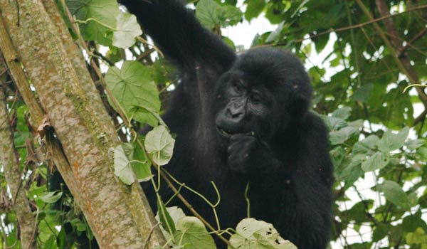 Gorilla-by-Pelin-Karaca