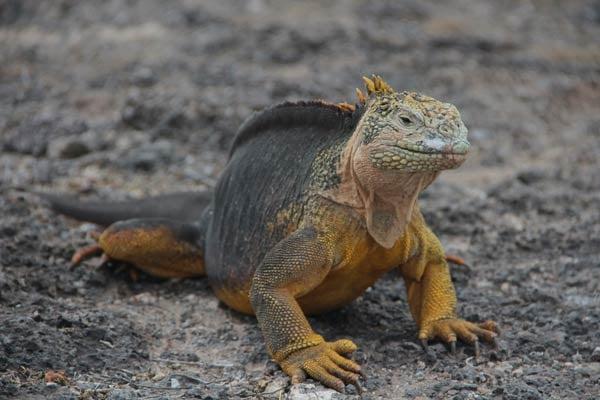 Land-Iguana-Lindsay-Taulbee