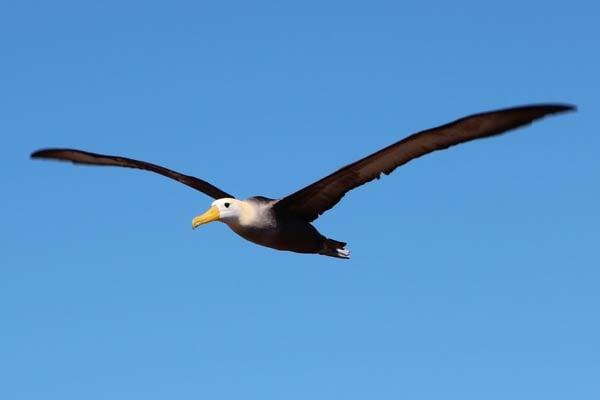 Waved-Albatross-Lindsay-Taulbee