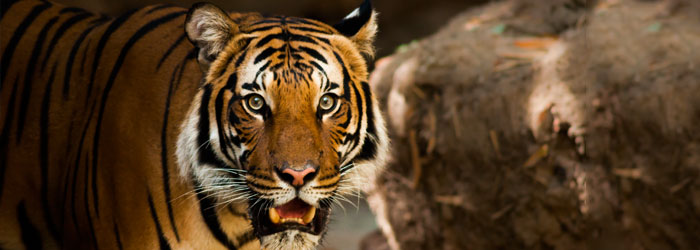 Tiger-stock-blog-header.jpg