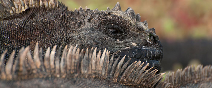 marine-iguana-reinier-munguia-blog-header